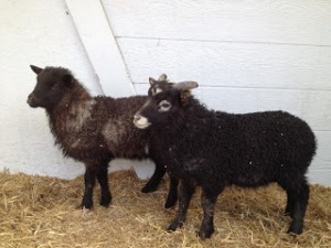 Our first Icelandic lambs. This is Pappy and Betty Boop when we first got them.