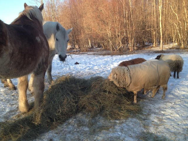 The horses don't seem to mind sharing their meal