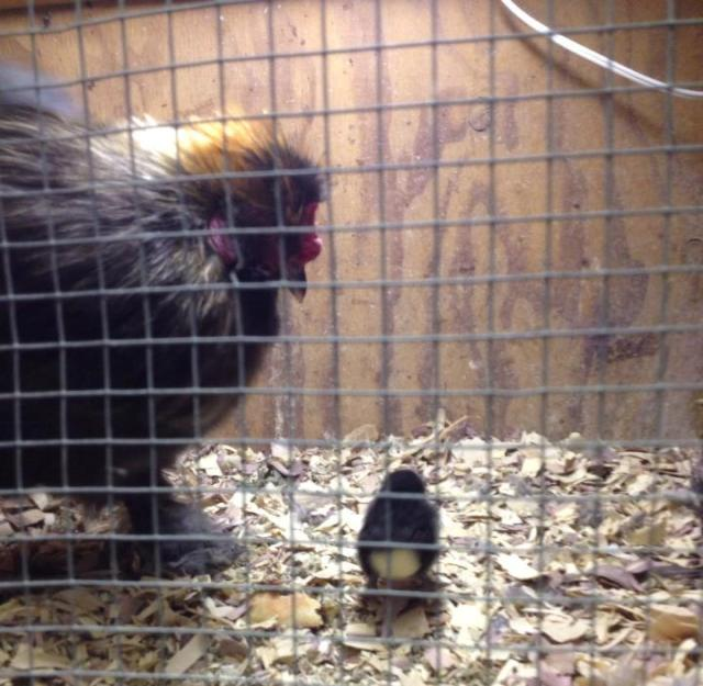 Gilligan the rooster showing baby how it's done.