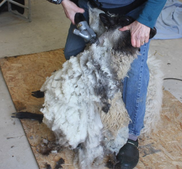 The shearer stretches Betty's head to the side to smooth all the skin on her neck