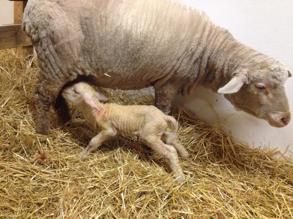 Katherine and new ram lamb