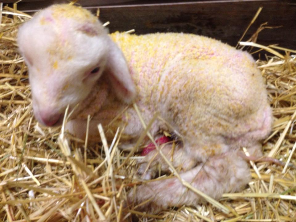 Ram lamb born 4/18/2014