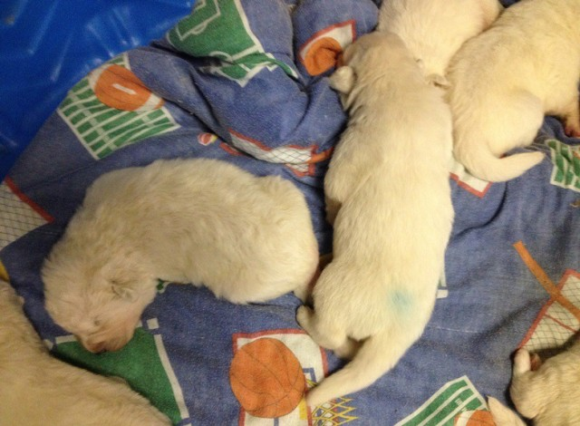 Maremma puppies sleep a lot