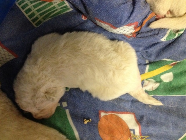 Baby Maremma with fuzzy coat