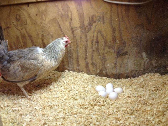 I gave a broody Icelandic hen some eggs