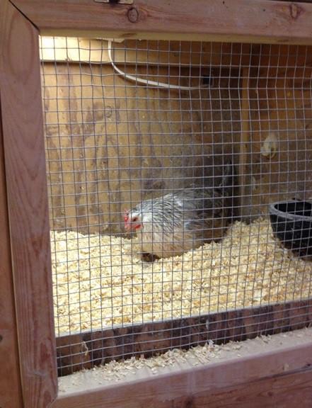 Setting hen :)