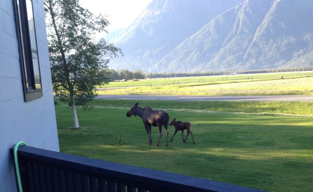 Moose meandering across the lawn