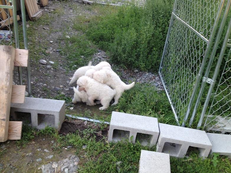 6 Maremma puppies tussling