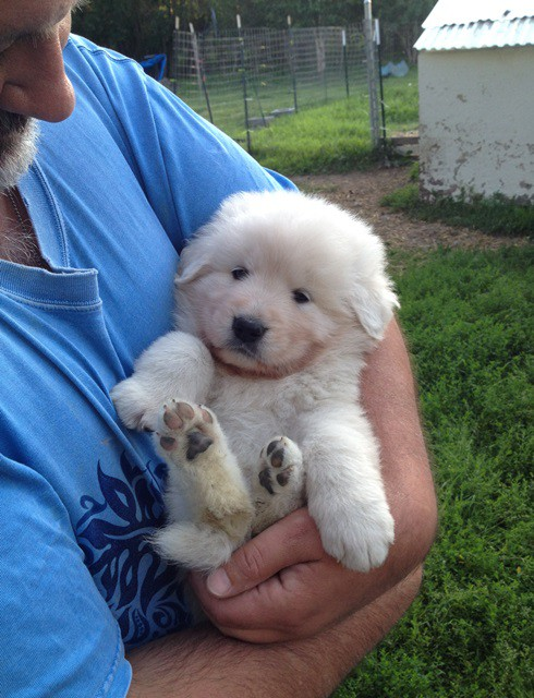 4 week old Maremma pup