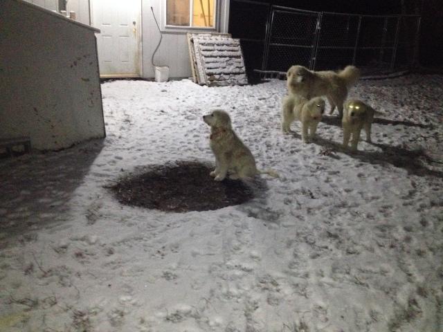 Maremma puppy watching the sheep gate.