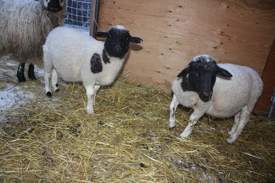 Young Dorper ewe lambs