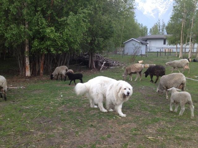 Al keeping tabs on his flock