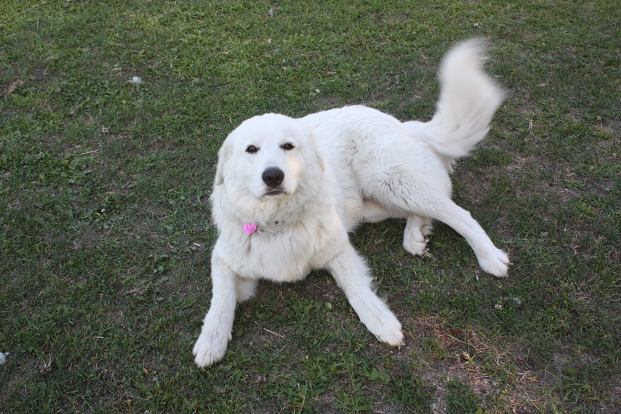 Mia our female Maremma Sheepdog