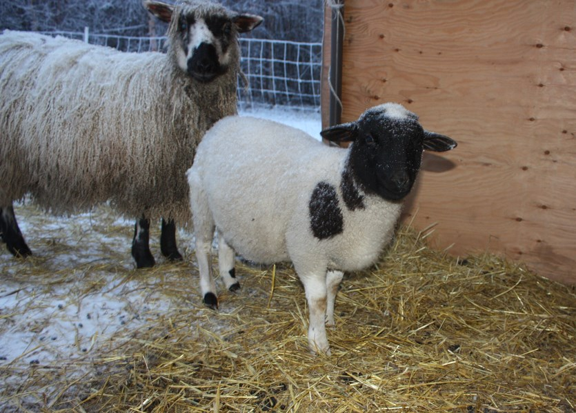 Dorper ewe lamb needs a name