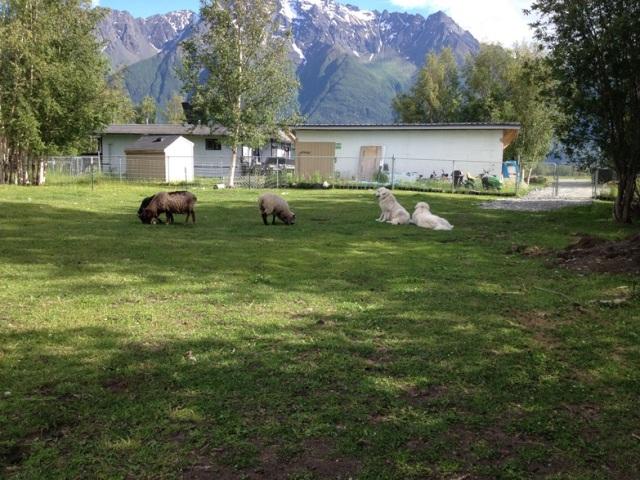 Maremma Sheepdogs prefer to be near their flock.