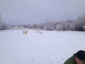 Maremmas in the snow.