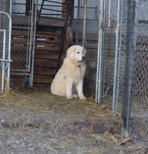 Opal watches her sheep through the fence.