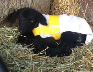 Suffolk ram lamb