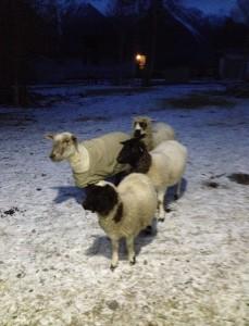 The outside sheep