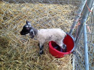 12 hours old and trapped in a bucket