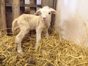 Newborn Cormo ram lamb