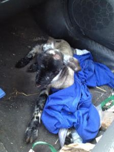 Hypothermic lamb warming in the car