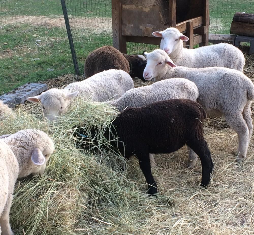 Lambs (2).JPG